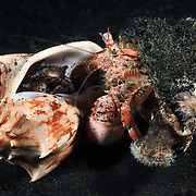 Anemone hermit crab (Dardanus pedunculatus) capturing and eating a mollusk. This hermit crab has a symbiotic relationship with anemones. The crab attaches anemones to the shell it lives in and transfers the anemones when it grows larger and changes shells. The anemones provide defence against predators like octopuses. It is possible that transfer of shells took place after this photograph was taken.