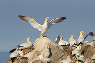 Gannet colony (Sula bassana), Firth of Forth, Scotland.