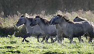 JAMES BOARDMAN / 07967642437 - 01444 412089 .A herd of Wild Konik horses are released onto marsh land by the banks of the River Stour in Canterbury Kent..The 13 Konik horses have been imported from Holland to help restore the 300 acre nature reserve..Their grazing of marshy areas helps to create ideal living conditions for birds such as geese, spoonbills, bitterns and corncrakes. .The horses are the closest living relatives of the extinct Tarpan, the wild forest horse which roamed Britain in prehistoric times. .. .