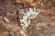 Dark Marbled Carpet - Chloroclysta citrata