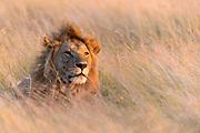 Male lion (Panthera leo) on the watch in the savannah grass of Maasai Mara, Kenay.