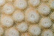 Star Coral (Montastraea sp.)<br /> Coral Reef<br /> Koro Island<br /> Fiji. South Pacific
