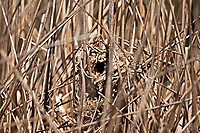 Marsh Wren nest that is complete you can see the small opening so the Wren can get in and out the female will line the nest with grasses and feathers.