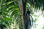The Colombian white-faced capuchin (Cebus capucinus), also known as the Colombian white-headed capuchin or Colombian white-throated capuchin, is a medium-sized New World monkey of the family Cebidae, subfamily Cebinae. Photographed in Costa Rica