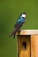 Tree Swallow, Tachycineta bicolor, at nest box