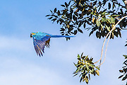 Blue parrot in flight