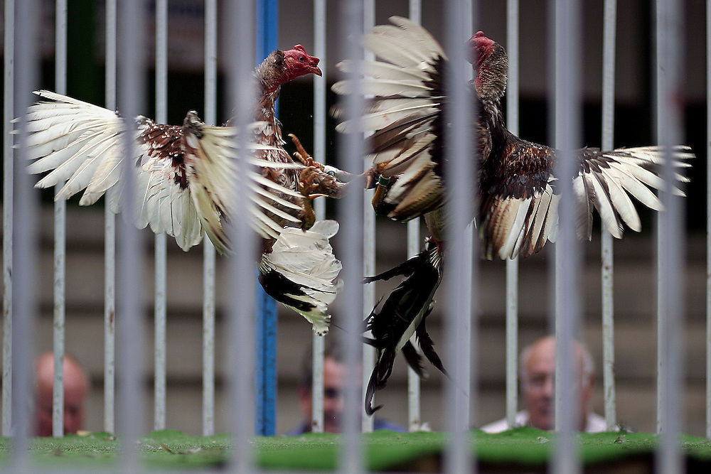 Roosters peck and jab each other with spiked ankles at a cock fight in the Canary island of Tenerife, Spain, on Sunday, March 16, 2008.