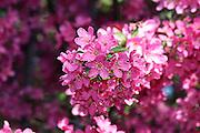 Lush crabapple blossoms.