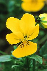 Viola 'Penny Yellow' F1