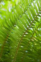 Closeup of ferns Western Washington USA.