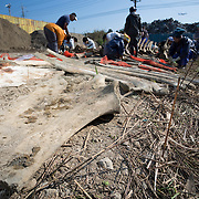 Scientists, students and volunteers engaged in cleaning the bones of an 18-meter long female fin whale (Balaenoptera physalus) that was found floating in Tokyo harbor in early 2012 and buried for about 16 months to facilitate decomposition. Even with the passage of so much time, there was still significant soft tissue and a power odor. The whale's shoulder blades and some of its ribs are visible here.