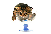 Cutout of a one week old kitten sits in a glass on white background