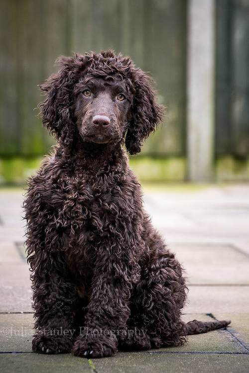 Irish Water Spaniel Puppy in back garden