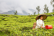 Female worker picking tea at the Gunung Mas Tea Estate, Puncak, West Java, Indonesia.