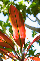 A detail of tropical plants on the North Shore of Maui, Hawaii