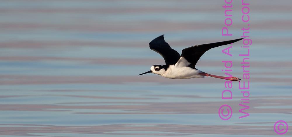 Black-necked stilt in flight, with dawn light reflecting on gentle waves, Salton Sea, CA, © 2011 David A. Ponton