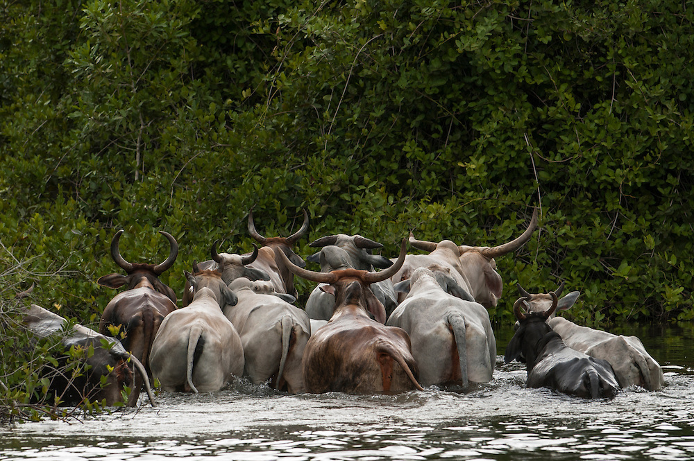 Crossing the flooded areas of the Pantanal. These Pantanal bulls are used for pulling the ox cart during the floods. These bulls are only used for the ox cart and never go to market. The cowboys respect them as hard working animals and leave them to die of natural causes on the fazendas. During the heavy floods access is vertually impossible without either ox-carts or tractors. Most of the remote fazendas do not own tractors.<br /> Pantanal. Largest contiguous wetland system in the world. Mato Grosso do Sul Province. BRAZIL.  South America