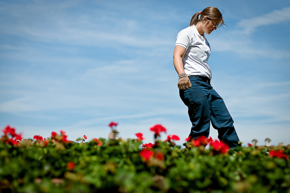 JEROME A. POLLOS/Press..Marissa Bertel, an employee with The Coeur d'Alene Resort, walks through the rows of freshly-planted geraniums on the hill near the resort entrance Monday. About 10,000 geraniums will be planted on the resort grounds over the next few days.