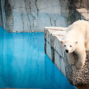 Playful young polar bear is curious about the new visitors at Maruyama Zoo, Japan