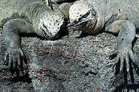 Marine iguanas in the Galapagos Islands, Ecuador.