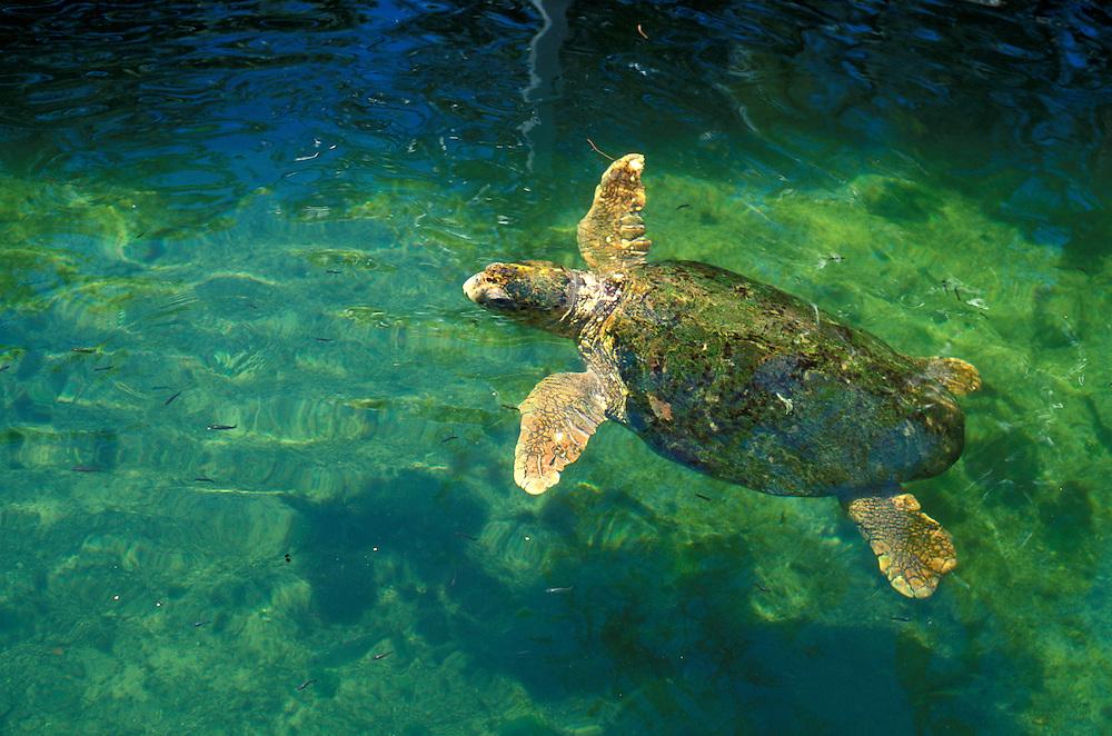 Turtle (Cheloniidae) at the Theater of the Sea, Islamorada Key, florida Keys,  Florida, USA