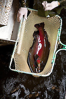 Scientists net salmon at a coastal Oregon hatchery for dna research. This research is dramaticaly helping scientists and fisherman track salmon migration routes, habits and lifespans. Oregon Hatchery Research Center. Fall Creek, OR.