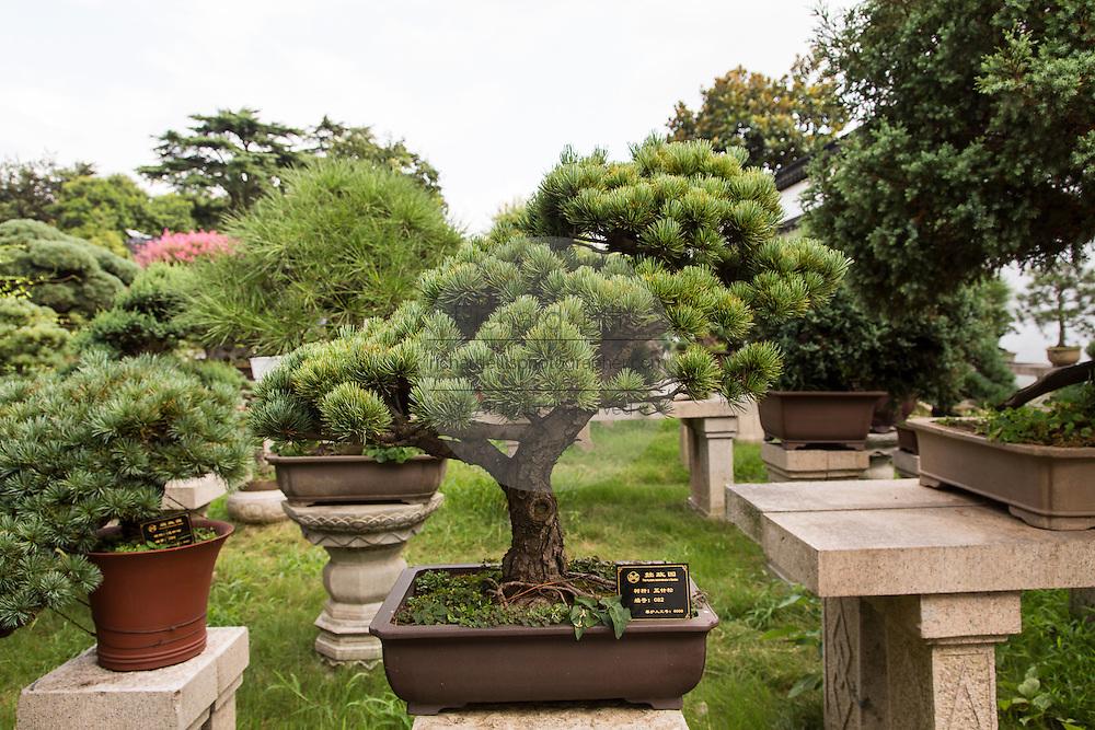 A bonsai tree in the Humble Administrator's garden in Suzhou, China.