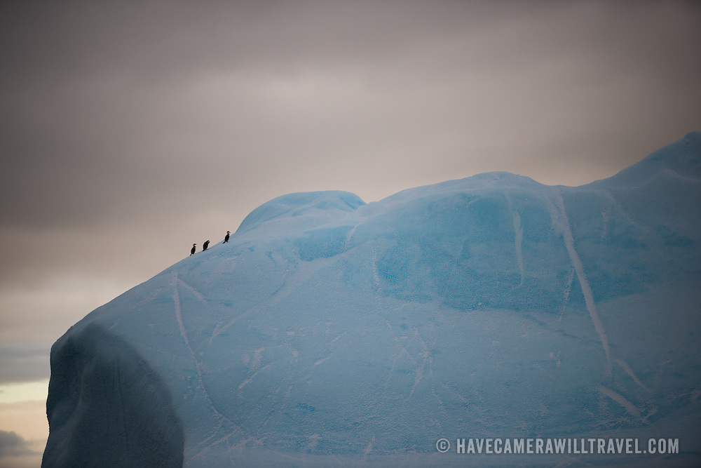 Three Antarctic shags (also known as Antarctic cormorants, or Phalacrocorax atriceps) stand on a section of a large blue iceberg in Curtis Bay, Antarctica, in the fading light of dusk.