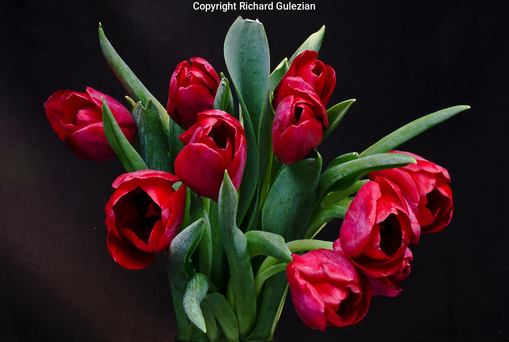 Red Tulips 2017