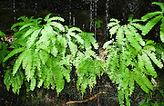 Five-Finger Fern (or Western Maidenhair; Adiatnum pedatum aleuticum), along Goat Lake Trail #647 in Mt. Baker-Snoqualmie National Forest, Washington, accessible from the Mountain Loop Highway, Washington, USA.