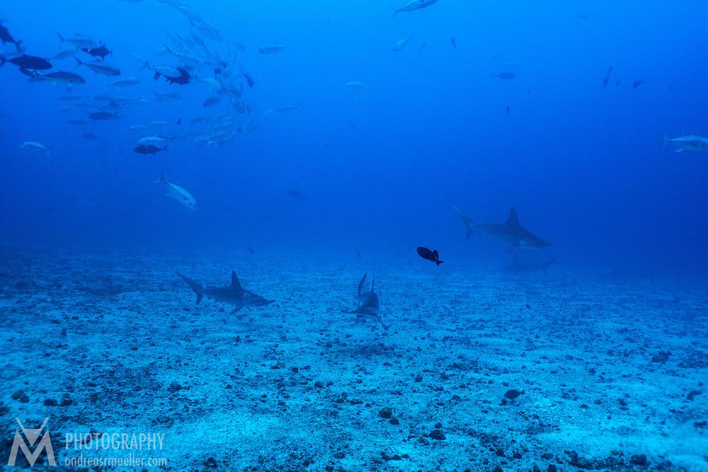 Cocos Island, Dive Spot: Manuelita