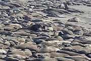 Hundreds of elephant seals (Mirounga angustirostris) fill the beach at the Piedras Blancas Elephant Seal Rookery near San Simeon, California. Elephant seals typically spend 9 months at sea, coming to shore only to give birth, mate and molt. Elephant seals are named for the long snouts, called proboscis, that male seals develop. The Piedras Blancas Elephant Seal Rookery is part of the Piedras Blancas State Marine Reserve and Marine Conservation Area, managed by California.
