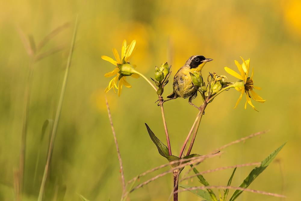 Common Yellowthroat on prairie flowers