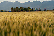View of the Swan Mountain range from a wheat field in Bigfork, Montana.