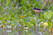 Black-capped donacobius (Donacobius atricapilla) from Pantanal, Brazil.