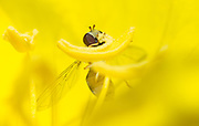 The head of a hoverfly protrudes from a flower pedal. (Sam Lucero photo)