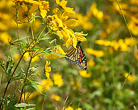 Monarch Butterfly. Image taken with a Nikon D200 camera and 200 mm f/4 macro lens.
