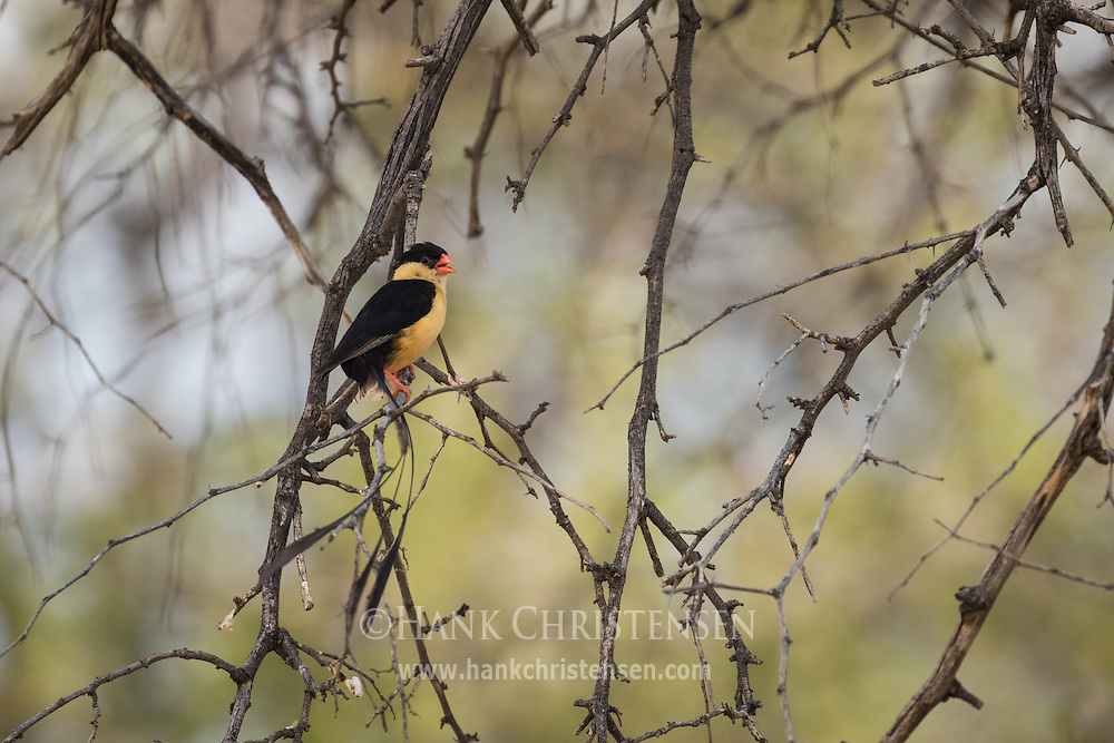 A male shaft-tailed whydah in breeding plumage perches on a branch, Naan Ku Se Wildlife Sanctuary, Namibia.