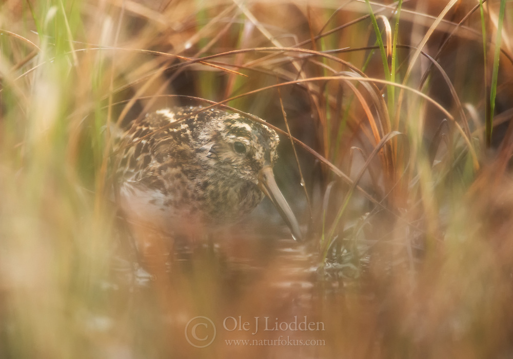 Broad-billed sandpiper (Limicola falcinellus) in Norway