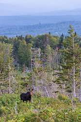 Cow moose, Alces alces, on the lower slopes of Mount Abraham, Maine. High Peaks region.