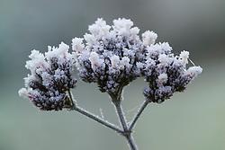 Hoar frost on the seedhead of Verbena bonariensis