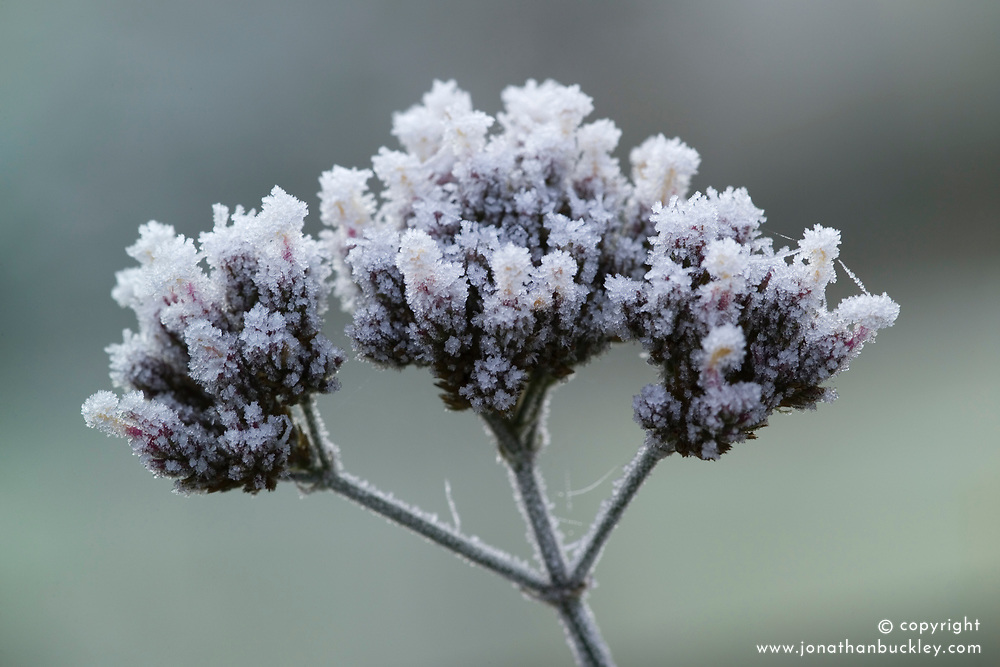 Hoar frost on the seedhead of Verbena bonariensis