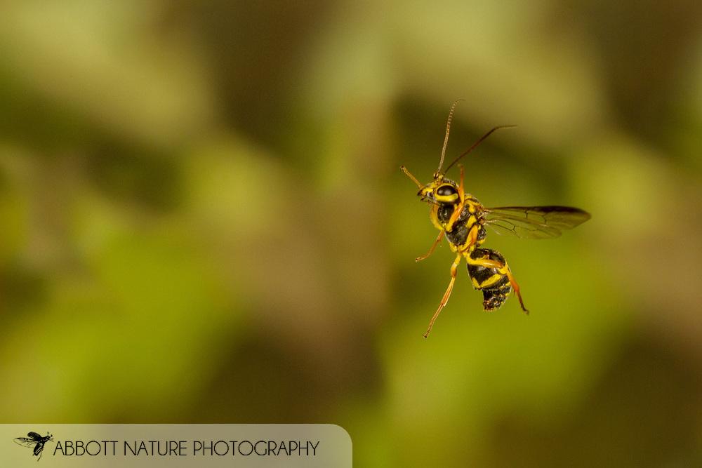 Wasp (Taeniogonalos gundlachii) flying<br /> United States: Alabama: Tuscaloosa Co.<br /> Tulip Tree Springs off Echola Rd.; Elrod<br /> 10-Oct-2017<br /> J.C. Abbott #3003
