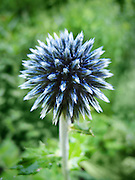 A macro photograph of a blue Globe Thistle that has not yet opened.   Photographed in the Shakespear Garden of Central Park, New York City.