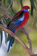 Crimson Rosella, Australia