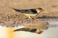 Greater-Striped Swallow collecting mud to build its nest with, De Hoop Nature Reserve, Western Cape, South Africa