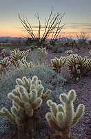Sonoran desert sunset with Ocotillo (Fouquieria splendens) and Teddy Bear Cholla cactus (Cylindropuntia bigelovii), Kofa Mountains Wildlife Refuge Arizona