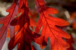 Stock photo of red leaves changing colors with the approaching fall