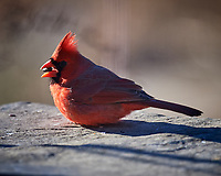 Northern Red Cardinal (male). Image taken with a Nikon D5 camera and 600 mm f/4 VR lens (ISO 450, 600 mm, f/4, 1/1250 sec).