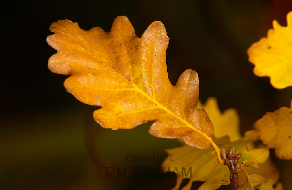 Oak leaves in autumn in Oxfordshire, England
